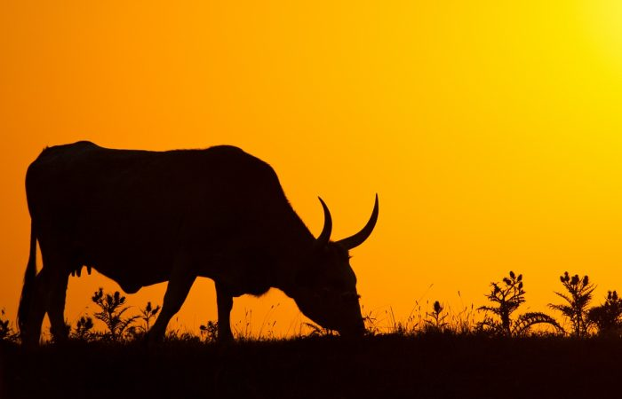 Agriturismo Maremma Vacca Maremmana